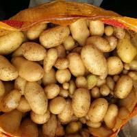 脱毒微型薯培育