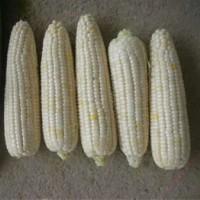 大田玉米种子