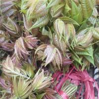 生产香椿苗